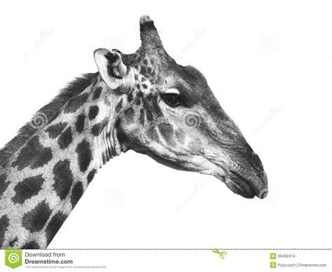 imagenes de jirafas blanco y negro retrato de la jirafa en blanco y negro foto de archivo