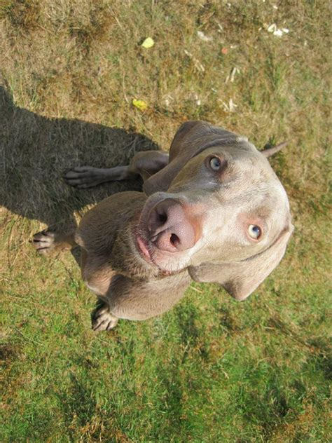 weim puppies related keywords suggestions for weim