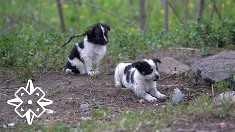 puppies of chernobyl meet the puppies of chernobyl documentarynews