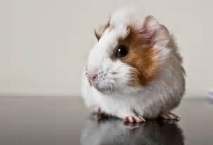 Pin cute guinea pigs on pinterest