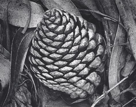 famous pattern photography pine cone and eucalyptus leaves san francisco california