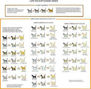 cat coat colors cat coat color genetics breeds picture