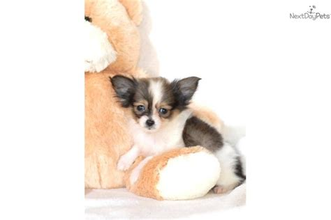 papillon puppies for sale in ohio papillon puppies for sale