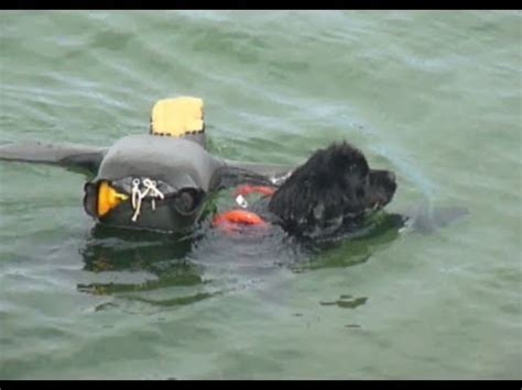 newfoundland puppies rescue newfoundland water rescue