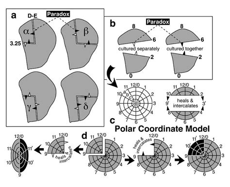 pattern formation regeneration fate map of the wing disc and regenerative potency of its