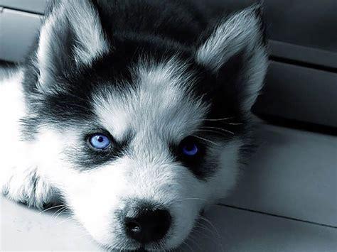 blue eyed husky puppy husky blue