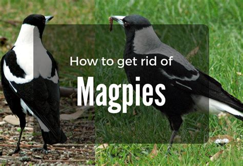 how to get rid of birds in backyard how to get rid of birds in yard birds of prey