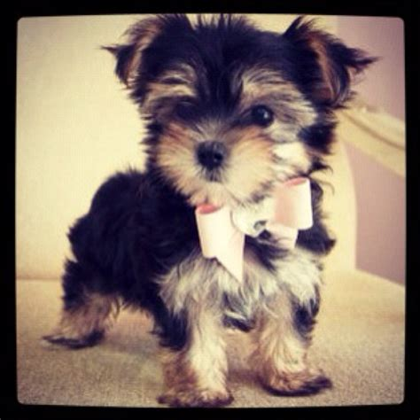 i want a teacup yorkie 45 best images about puppy on adoption yorkie and information about