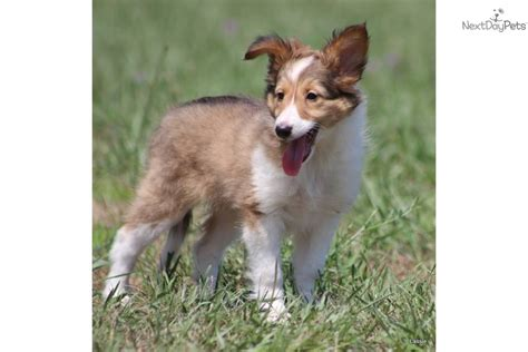 lassie puppies pin dogs lassie 2 on