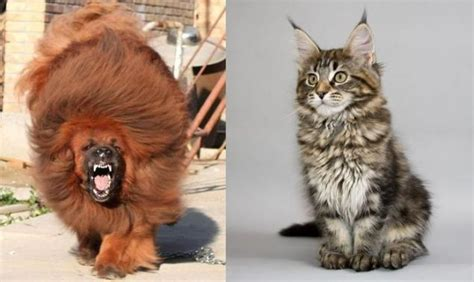 biggest house cat in the world the most expensive dog and the largest cat in the world 32 photos page 1