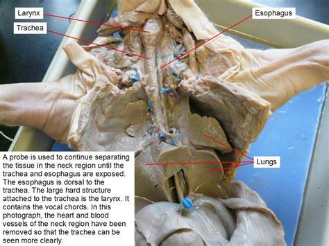 fetal pig stomach diagram reading fetal pig dissection biology ii laboratory manual