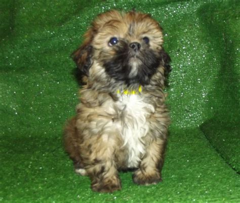 shih tzu shedding shorkie shih tzu x terrier small non shedding breeds picture