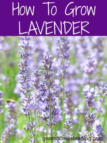 how to grow to grow and lavender on pinterest