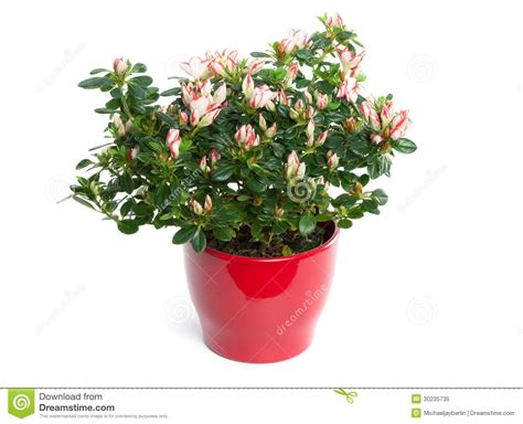 azalea in vaso azalea in vaso isolato su fondo bianco fotografia stock
