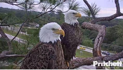 southwest florida eagle cam southwest florida eagle cam live feed