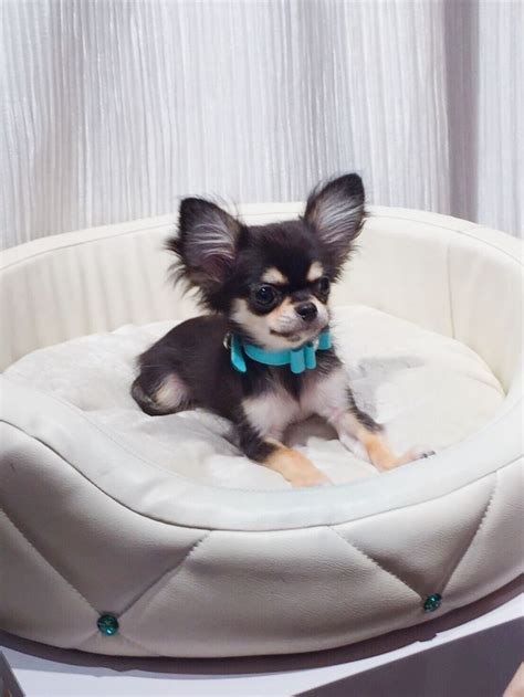 buy chihuahua puppies best 20 chihuahua dogs ideas on