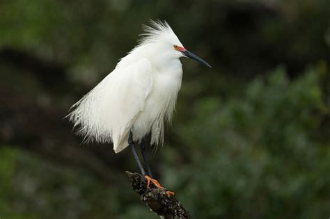 beak season birding in southwest florida naples illustrated