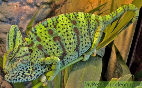 veiled chameleon colors buying checklist for getting a pet chameleon what to