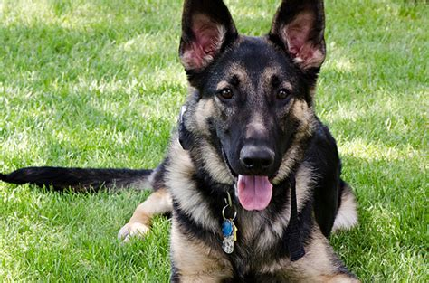 how much is a german shepherd how much should a blooded german shepherd puppy cost