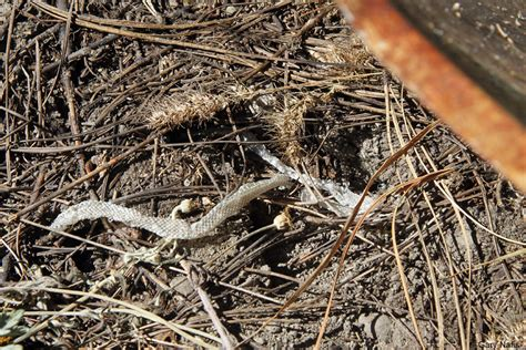Snakes Shed by Snake Behavior And History