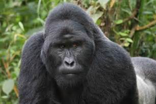 Gorilla if you are wondering about the difference between lowland gorillas