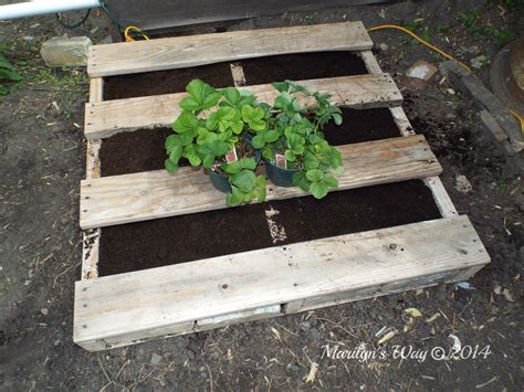 how to plant strawberries in a raised bed raised strawberry bed marilyn k foster