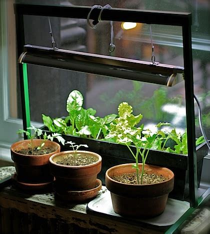 my apartment garden how to grow an indoor herb or