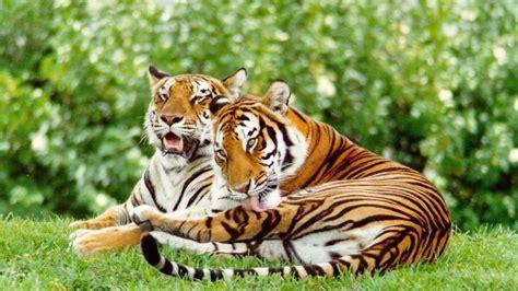 imagenes de tigres y jirafas tigres salvajes 1920x1080 fondos de pantalla y wallpapers