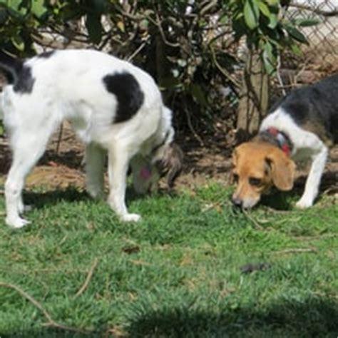 beagle bed and breakfast beagle bed breakfast pet boarding pet sitting