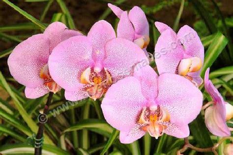 imagenes de flores naturales orquideas foto de orquideas rosas