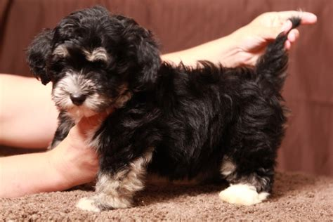 havanese vancouver havanese puppies for sale from canadian breeders in rachael edwards