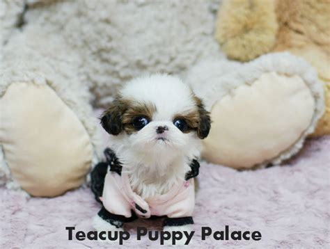 micro teacup shih tzu teacup puppy palace adorable micro teacup shih tzu puppy