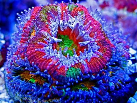 low light corals for sale large polyp flourecent coral quot ultra bleeding apple acan
