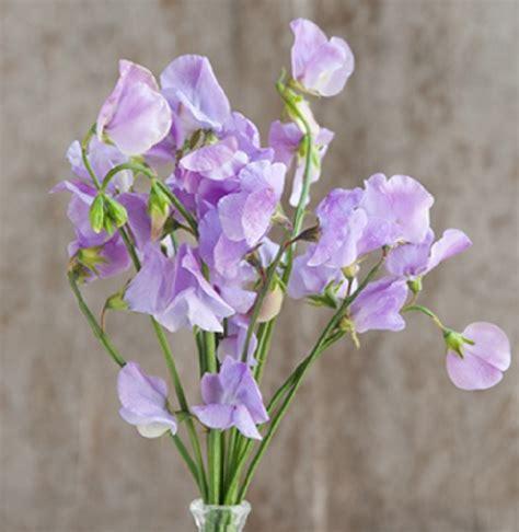 berisi 5 biji benih bunga pea benih sweet pea elegance lavender 5 biji non retail
