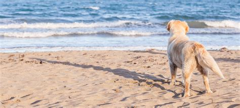 beaches that allow dogs is your allowed on chicago beaches windy city paws