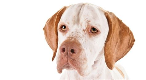 Pointer Lookup Pointer Breed Information American Kennel Club