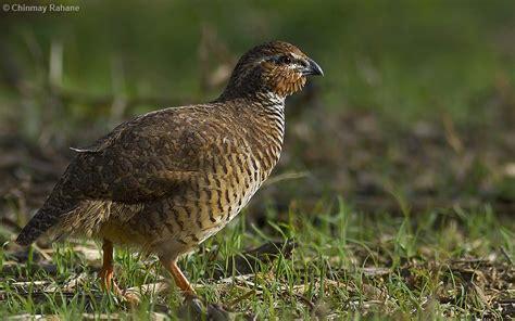 rock bush quail