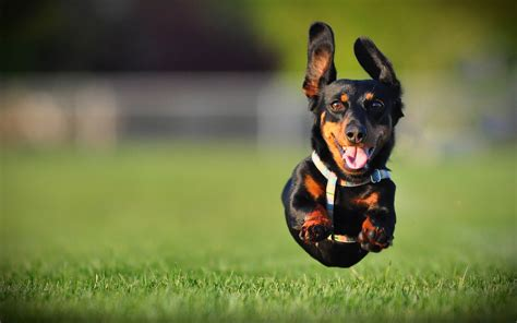 3742 dog hd wallpapers background images wallpaper abyss 49 dachshund hd wallpapers backgrounds wallpaper abyss