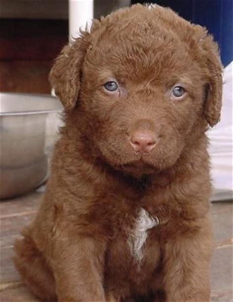 golden bay retriever best 25 chesapeake bay retrievers ideas on chesapeake bay retriever puppy