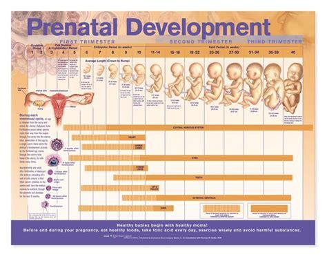 best 25 prenatal development ideas on