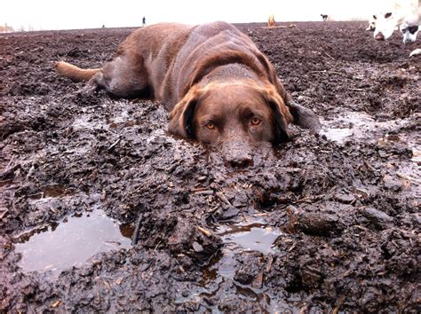 mud puppy 8 dogs who really really mud