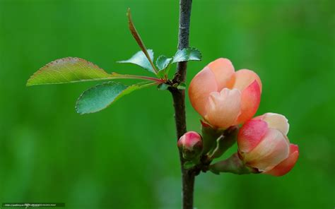 flower quince wallpaper download wallpaper quince macro flowers leaves free