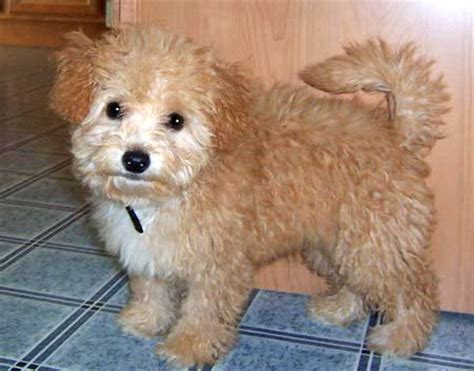 white shih tzu poodle mix shih tzu poodle mix grown photo happy heaven