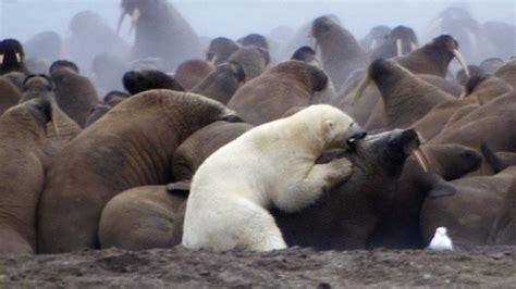 polar bear  walrus planet earth bbc earth youtube