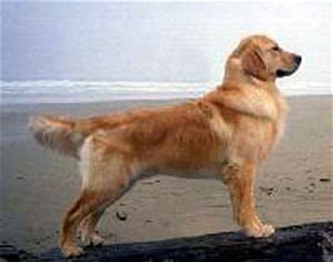 golden retriever pictures by age golden retriever photos pictures golden retrievers page 2