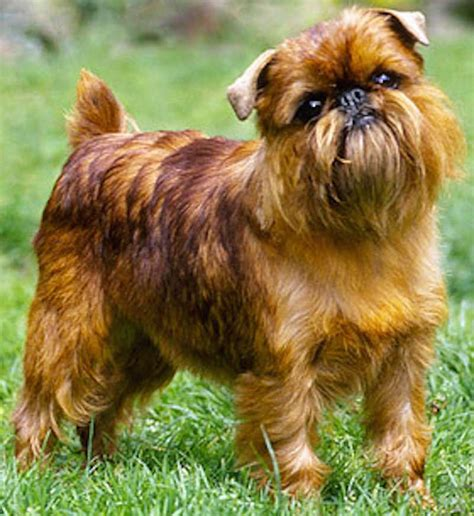 Brussels Griffon Shed by Hypoallergenic Breeds Dogs That Don T Shed K9