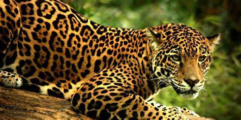 is jaguar endangered scientists will protect endangered jaguars by