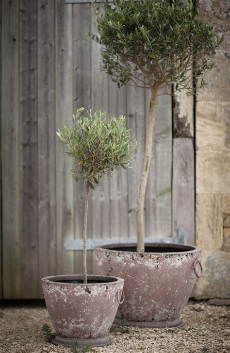 Olive Tree In Planter by Top 25 Best Trees In Pots Ideas On Potted
