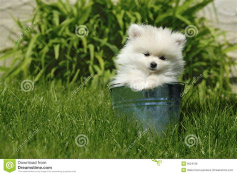 white pomeranian puppies for free white pomeranian puppy in metal pail royalty free stock photos image 9524108
