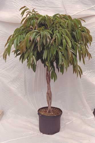 care  ficus amstel king video ficus tree